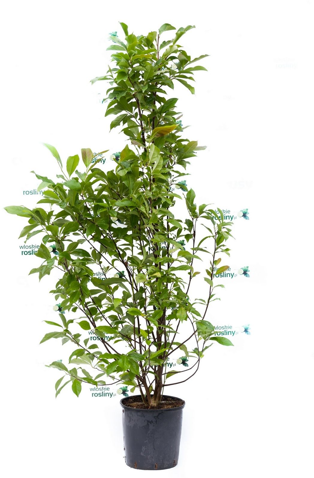 Magnolia odm. susan ogromny krzew