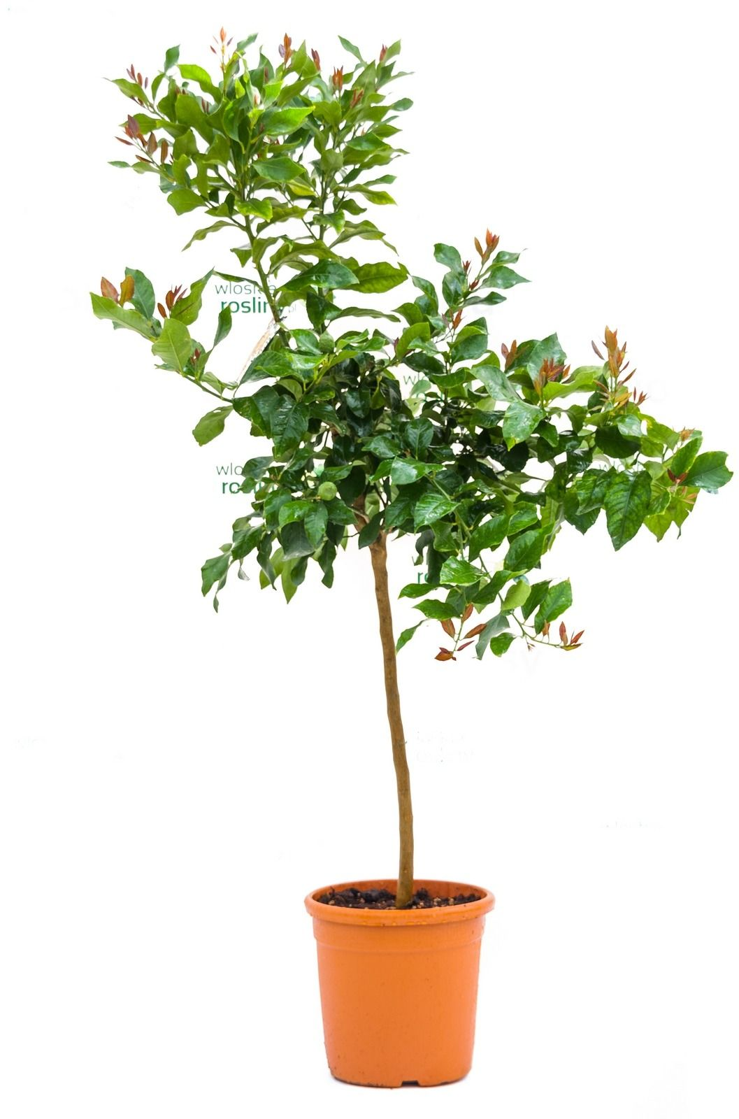 Cytryna florentina drzewo