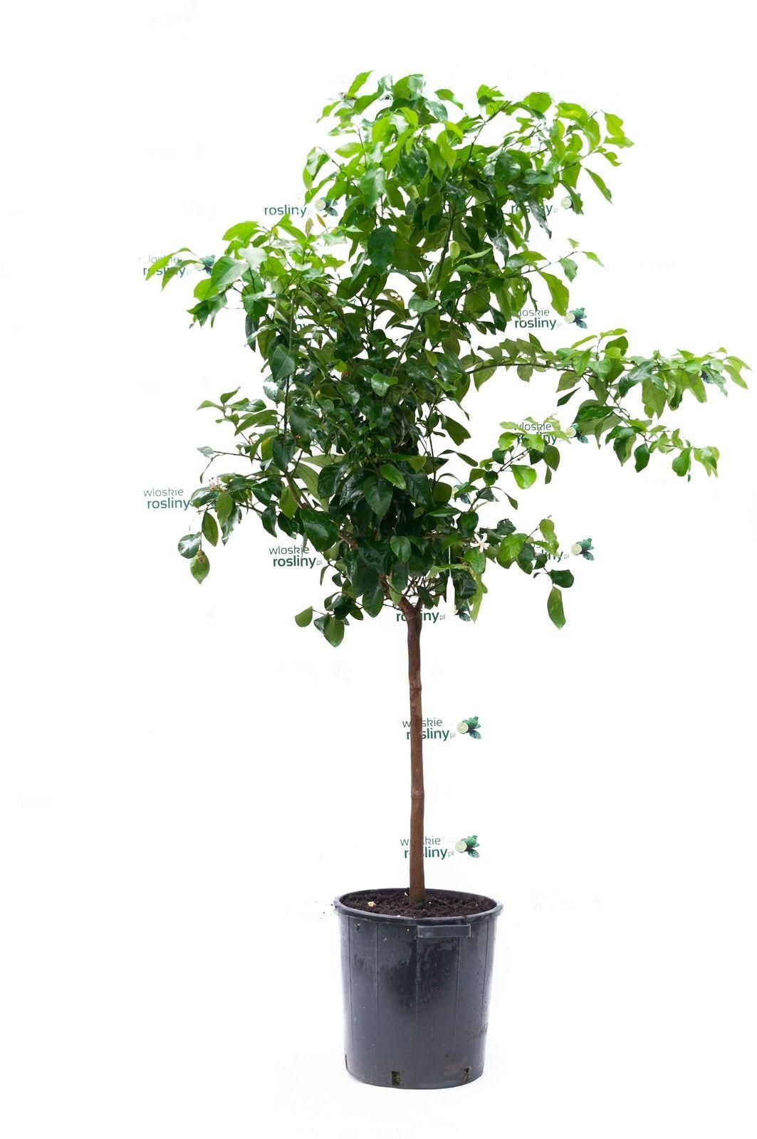 Cytryna florentina duże drzewo
