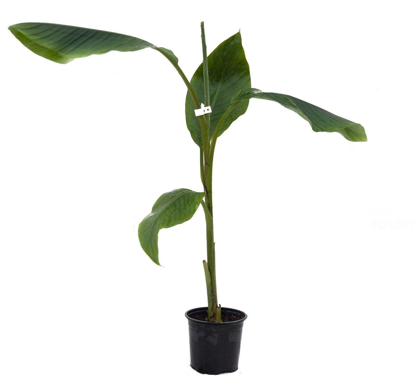 Bananowiec musa velutina drzewko