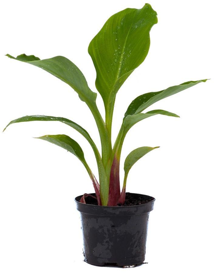 Bananowiec musella lasiocarpa sadzonka