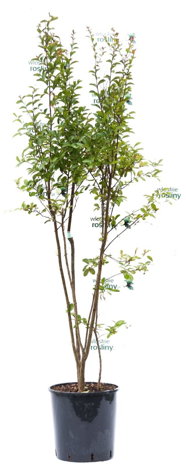 Lagerstroemia indyjska ogromny krzew mix