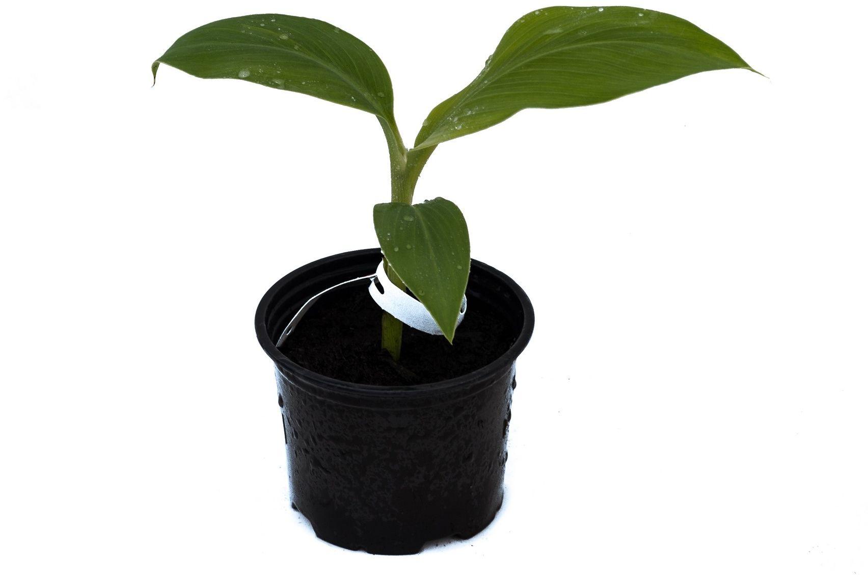 Bananowiec musa acuminata var. acuminata sadzonka