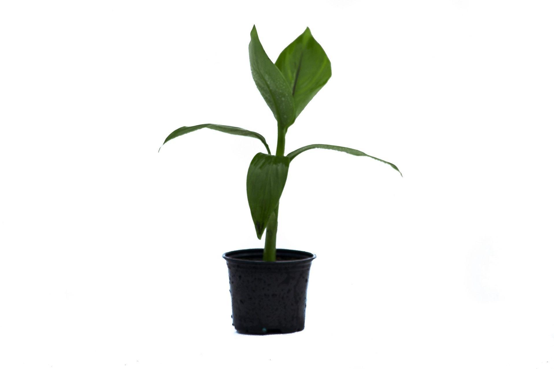 Bananowiec musa basjoo sadzonka