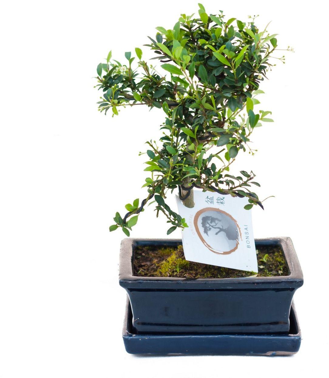 Drzewko bonsai ilex