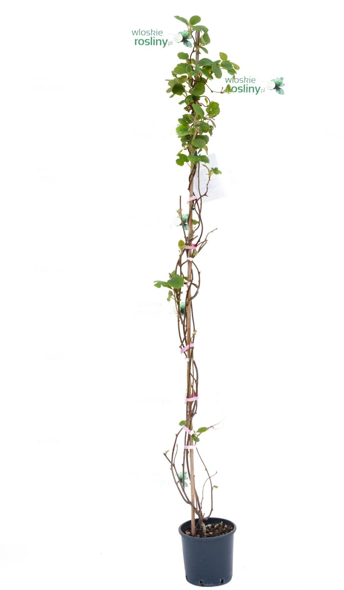 Kiwi pnącze