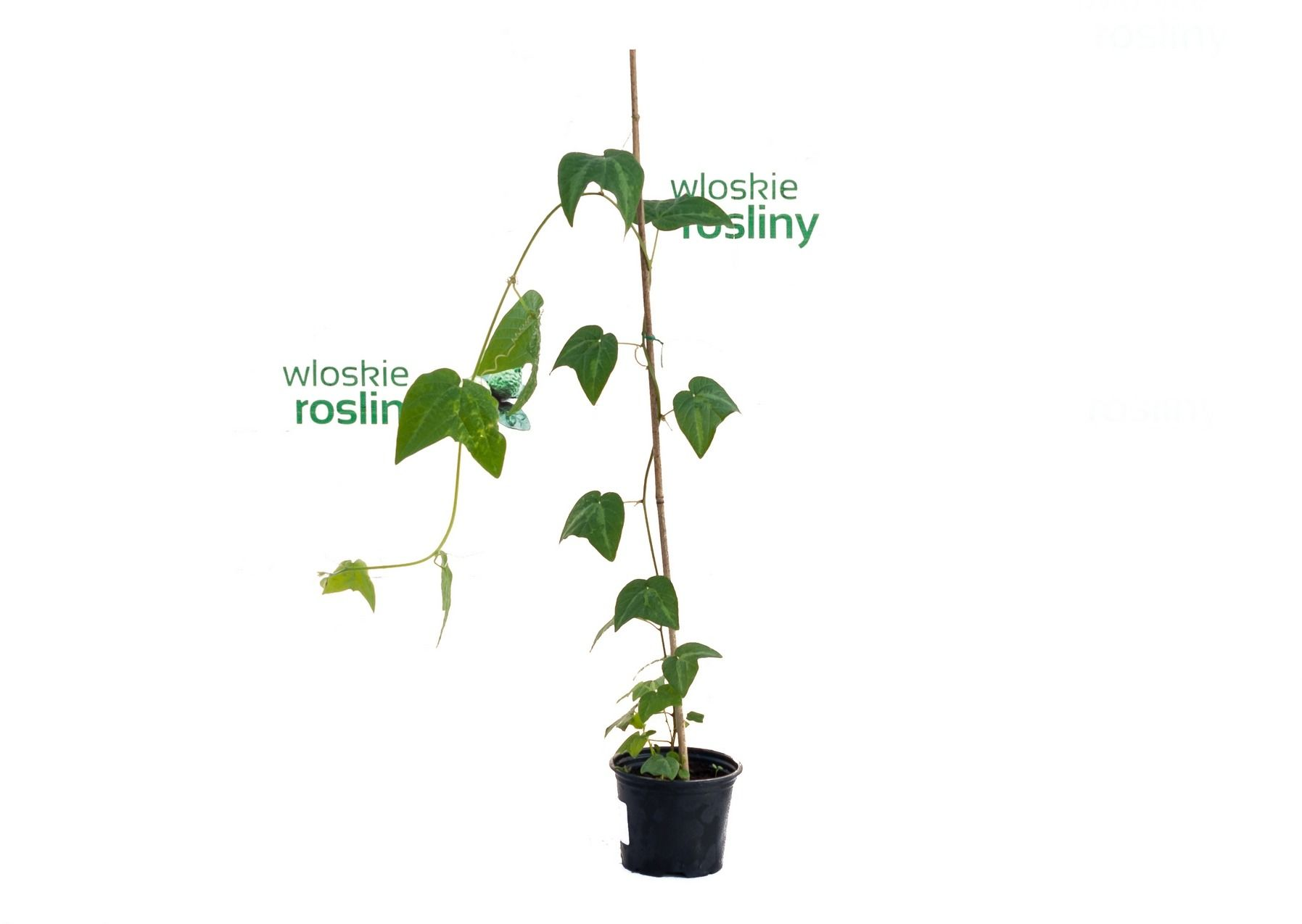 Passiflora capsularis sadzonka