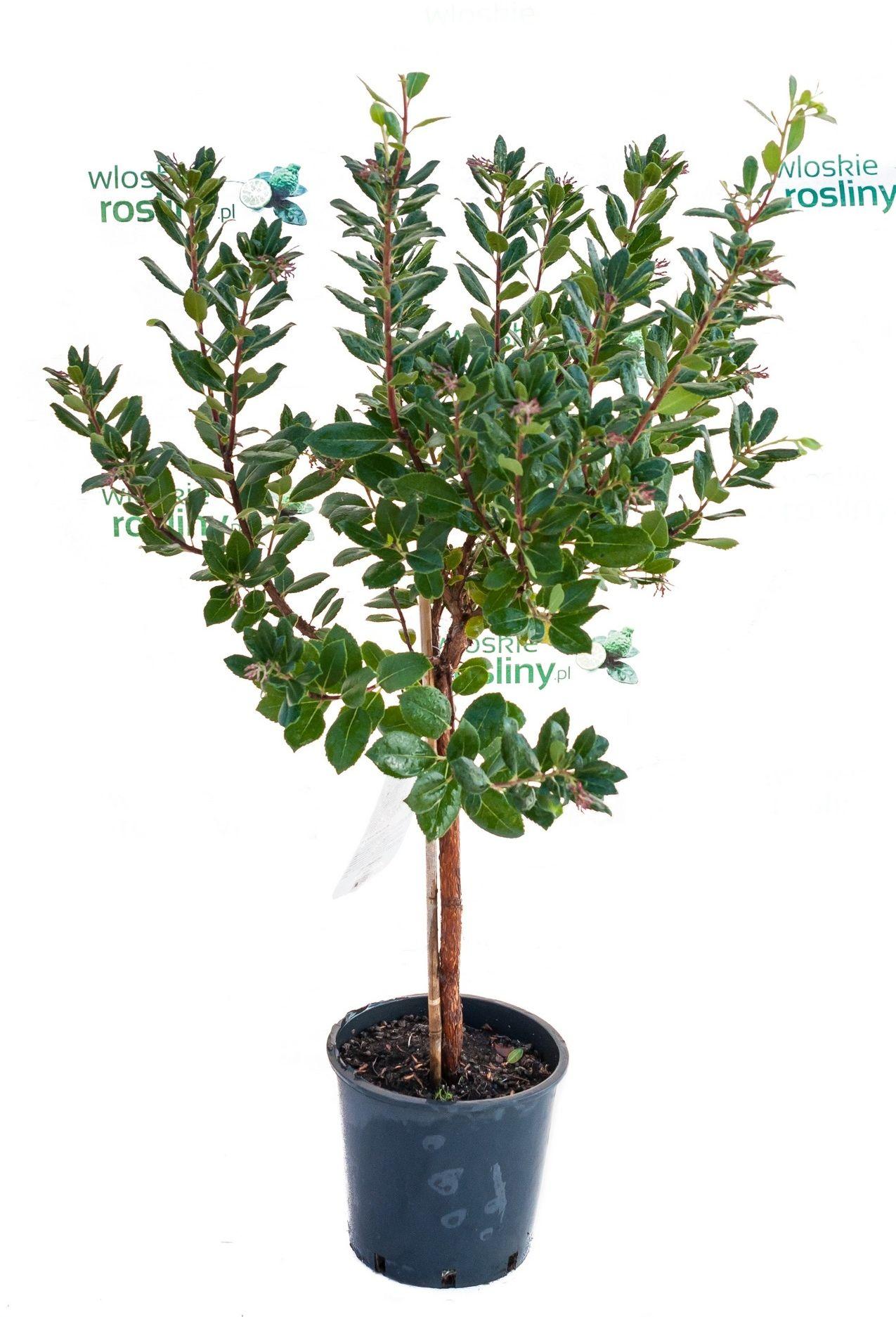 Drzewko truskawkowe duże drzewko