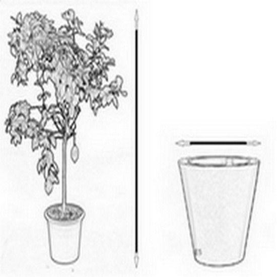 Mandarynka ciaculli duże drzewko