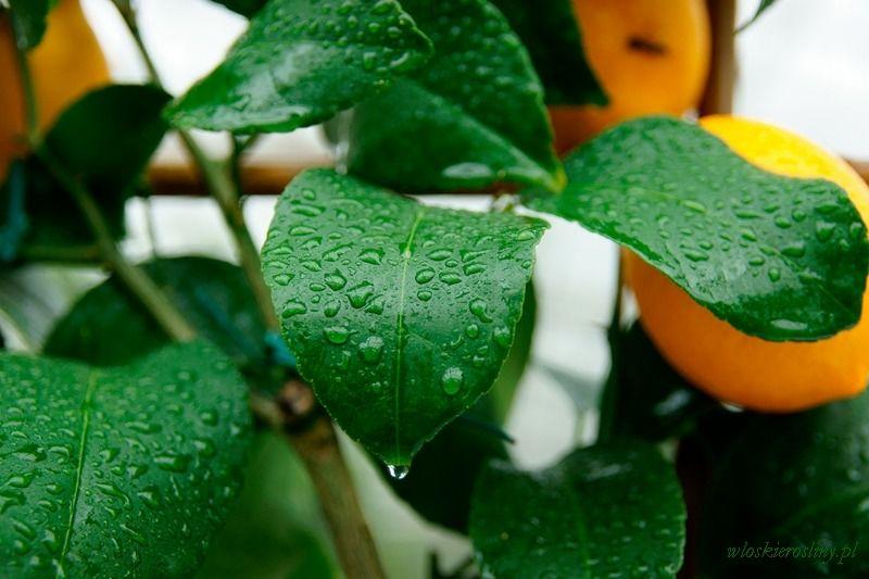 Cytryna meyeri duże drzewo