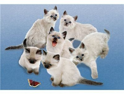 Clementoni 30393.9 - Puzzle Butterfly cats 500-częściowy