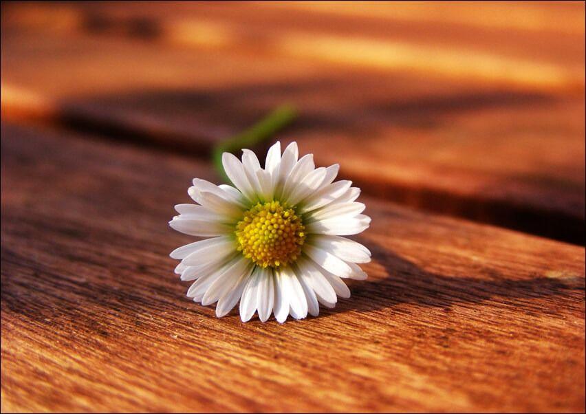 Stokrotka. kwiat - plakat wymiar do wyboru: 42x29,7 cm