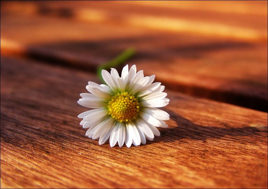 Stokrotka. kwiat - plakat wymiar do wyboru: 70x50 cm