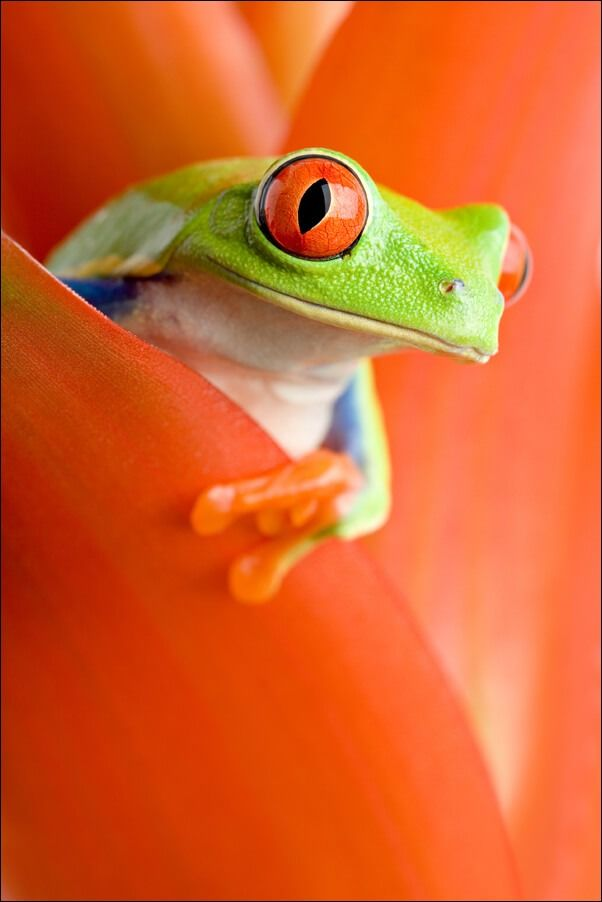 Żaba w kwiecie - plakat wymiar do wyboru: 20x30 cm