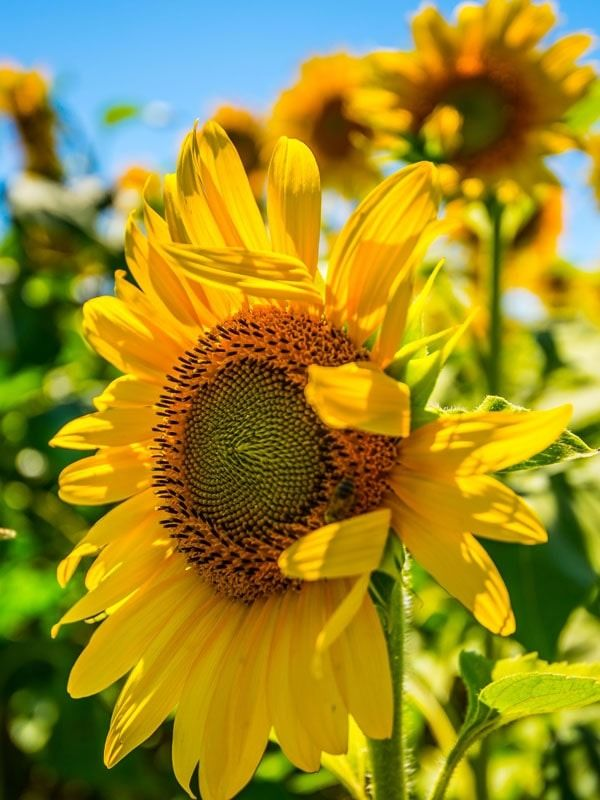 Słoneczniki ii - plakat premium wymiar do wyboru: 40x60 cm