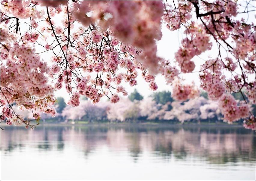Kwiaty wiśni - plakat wymiar do wyboru: 70x50 cm