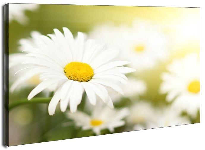 Stokrotki - obraz na płótnie wymiar do wyboru: 100x70 cm