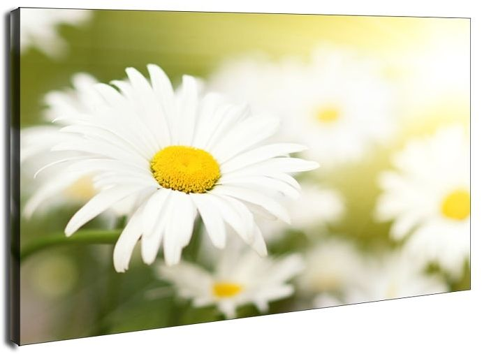 Stokrotki - obraz na płótnie wymiar do wyboru: 120x90 cm
