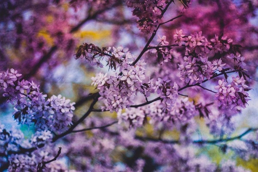 Kwiaty judaszowca - plakat wymiar do wyboru: 70x50 cm