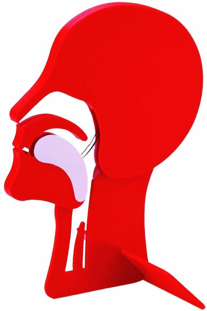 Przekrój dróg oddechowych Head Section Model