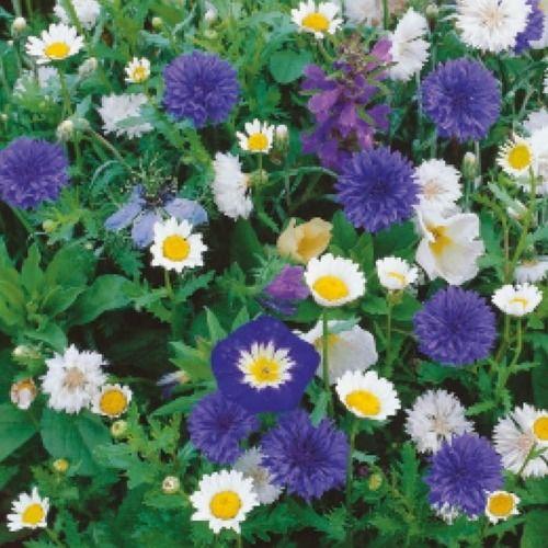 Kwiaty biało-niebieskie  mix nasion na taśmie  kiepenkerl