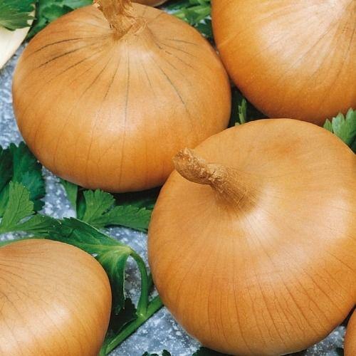 Cebula ''stuttgarter riesen''  nasiona kiepenkerl