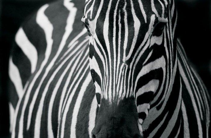 Fototapeta Zebra 2 - 175x115 cm